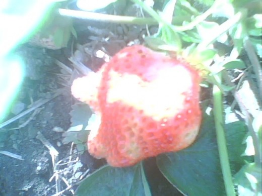 This is one of the biggest strawberries so far - and one of the oddest ones I have ever seen!