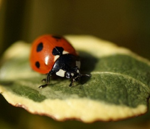 A Ladybird in the UK, a Ladybug in the USA. Whatever you call it, this is a fearsome predator on aphids.