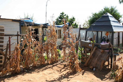 A corner of the yard with some dried maize plants