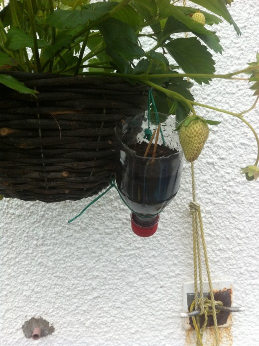 I use a recycled coke bottle to get my runners from the strawberry plants in the baskets.
