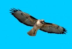 Harrass the Hawk