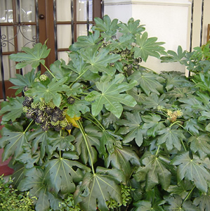 Japanese Aralia - for a tropical look