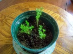 growing indoor carrot tops