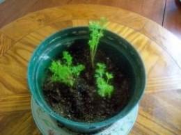 growing indoor carrot tops