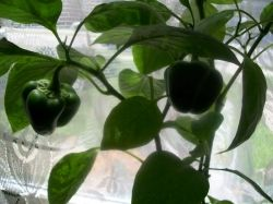 Pepper plant on Windowsill