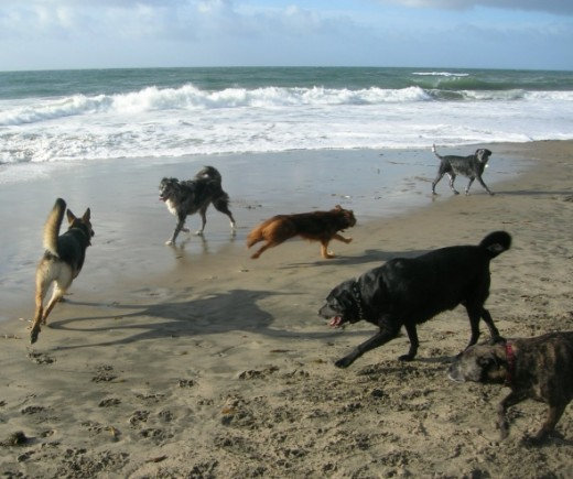 Dogs of all shapes, sizes, and breeds play together in the sand