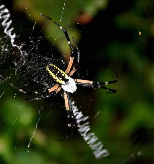 Garden spider - photo taken in the evening.