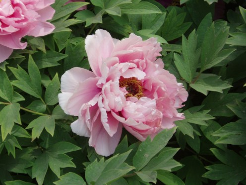 Blowsy and Fragrant Peonies