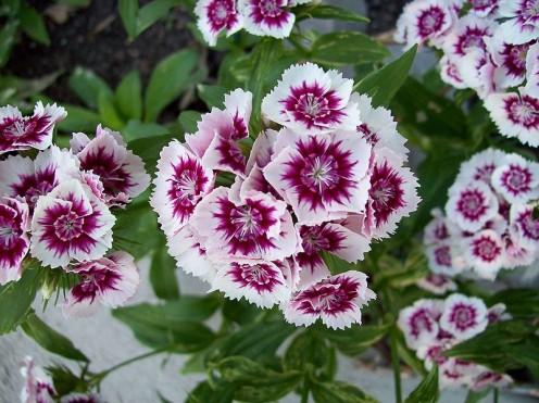 Dianthus - clove scented