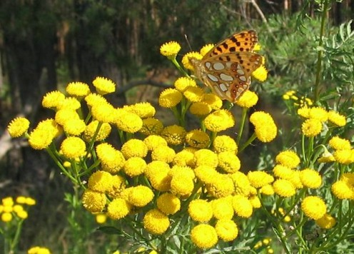Tansy foliage has a spicy smell,with bright yellow button flowers that attract butterflies