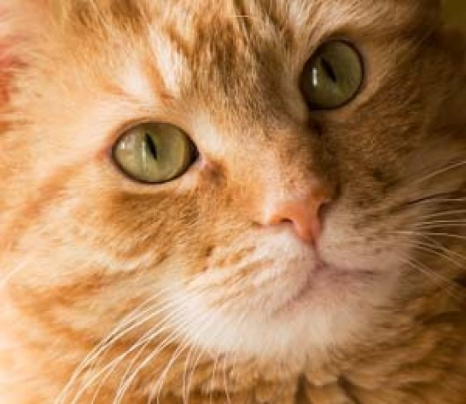 Feline cancer is one of the leading causes of death in older cats.