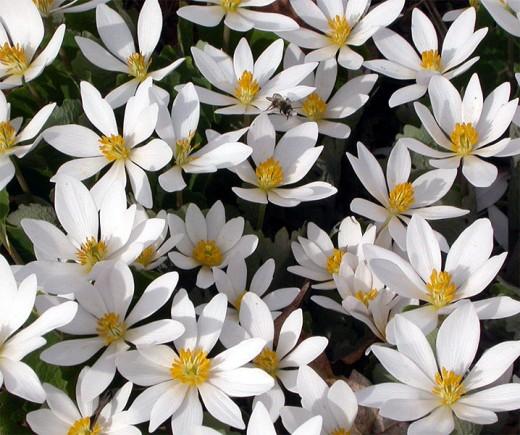 Photo of Bloodroot Flowers (David D., Wikipedia)