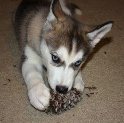 Sakari Chewing a pinecone