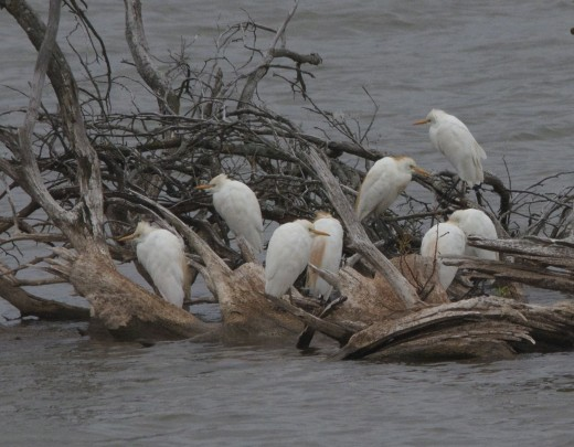 """Cattle Egrets """"Meanwhile, Back at the Ranch"""""""