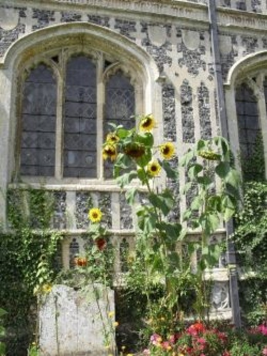 Sunflowers behind Melford Church