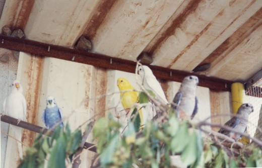 Budgies and normal Bourke Parrots
