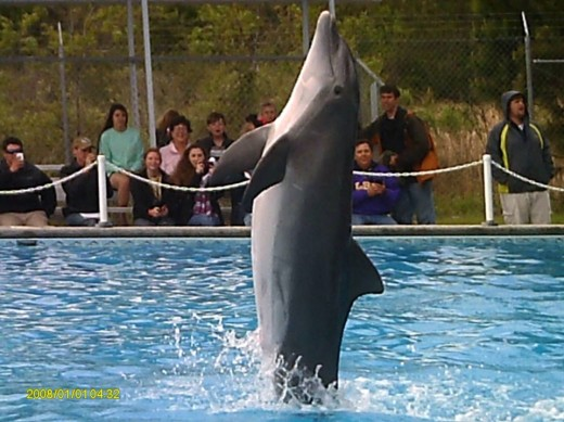 Dolphin show at a trip to the Institute of Marine Mammal Studies.