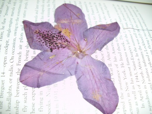 Pressing a rhodendon blossom
