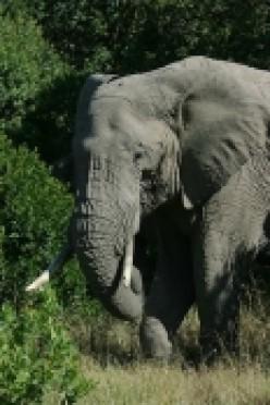 Elephant Vs Anaconda