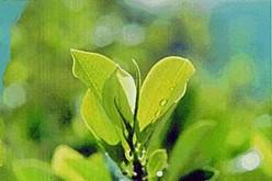 Coca: sacred leaf of the Incas!