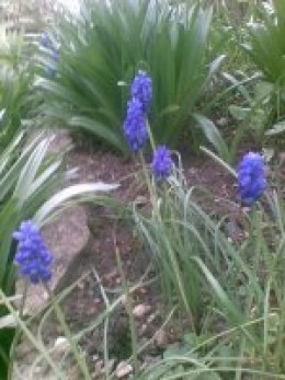 Grape hyacinths.  Want to buy some?