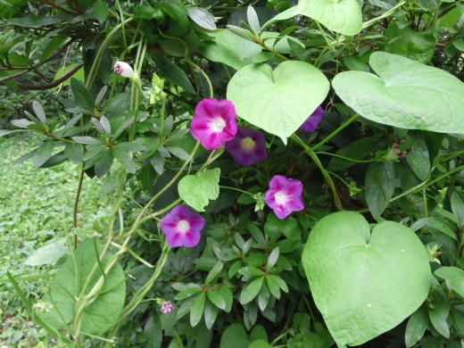 these volunteer morning glories are related to sweet potatoes