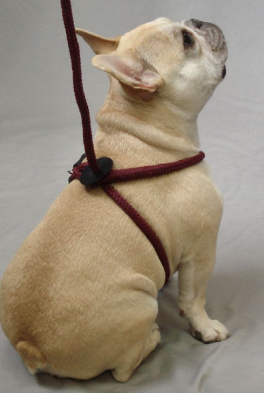 Teddy (French Bulldog) showing the back of the Harness Lead