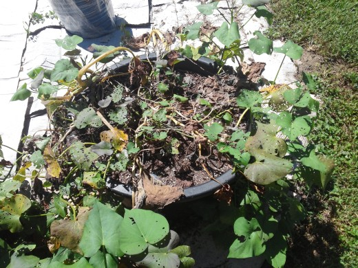 M y sweet potatoes growing in a large black plastic container ready to be harvested