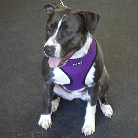 Keesha (Pit Bull) in the Soft Harness
