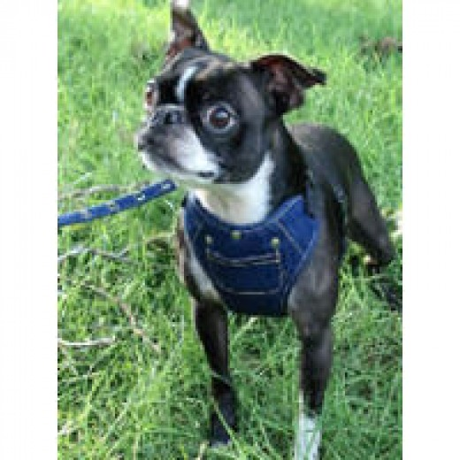 Ceilidh (Boston Terrier) in the Active Dog Harness