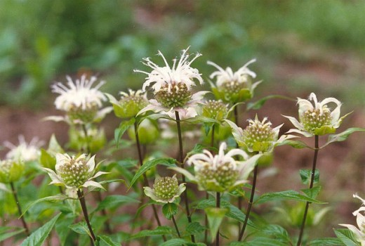 The seed heads of native Monarda fistulosa add fragrance and color to a natural wreath.