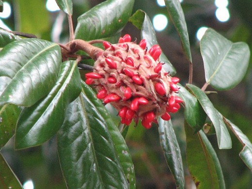The seed cones on Magnolia grandiflora are filled with colorful red seeds.