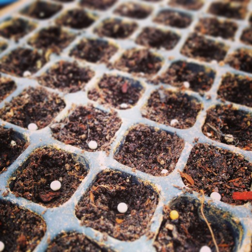 Other than root crops and peas, we like to start seedlings indoors to get ahead of winter.