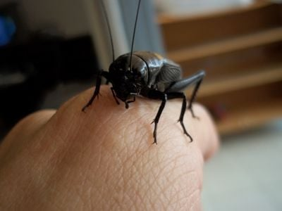 I feed on plants and sometimes other insects. I have two long antennae, they are called feelers. I am scavengers and omnivores.