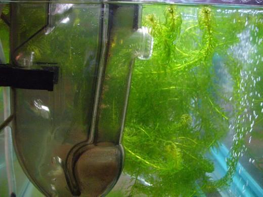 Brine Shrimp Hatchery