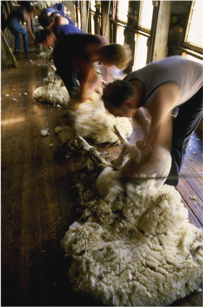 Feed them well and the Shearers will keep on shearing!
