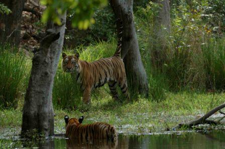 Tigers in Water at Bandhavgarh