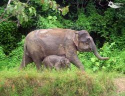Elephant in Sabah, Borneo