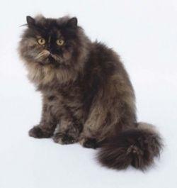 Exotic Persian Cats