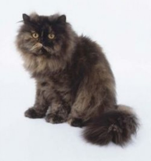 Exotic Persian Cats