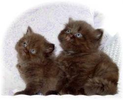 Persian Cats Diet
