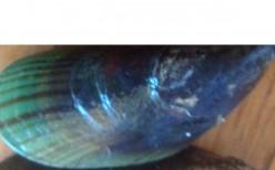 Mussel Starters