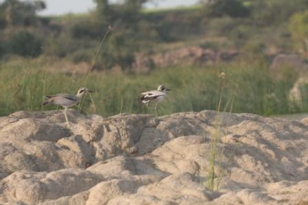 Great Stone Plover