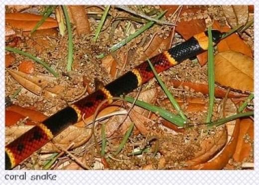 Coral Snake (courtesy Flickr)