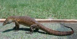 Nile Monitor Lizard Capture