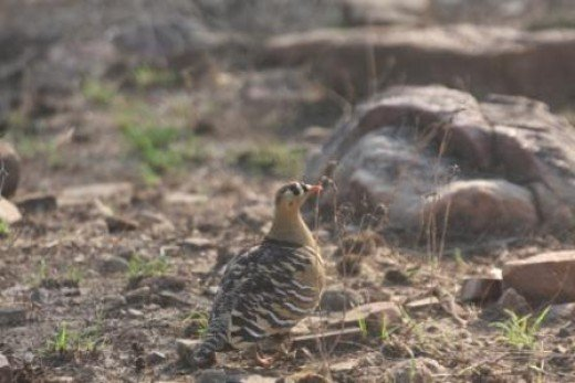 Painted Sand Grouse