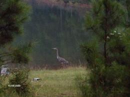 Kingfisher-West Point Lake GA 2008
