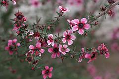 The Manuka bush or Tea tree