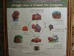Threats to the Orangutan