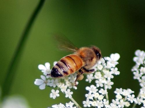a honey bee gathering nectar